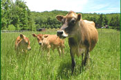 cow-&-calves175.jpg